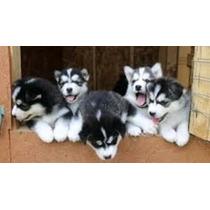 Cachorros Siberino Para Adopcion
